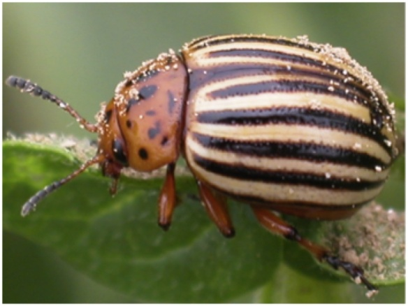 Colorado Potato Beetle.   Photo by Z.