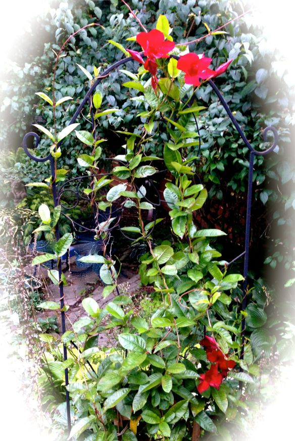 Mandevilla in early October Photo: S.Marshall 2015