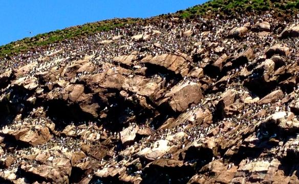 Puffin Nesting ground IMG_3332