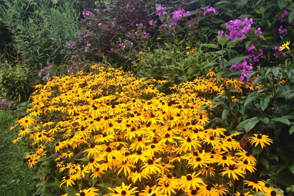 Brown-eyed Susans en masse IMG_4562