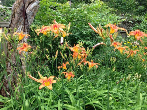 Ditch Lilies IMG_0239